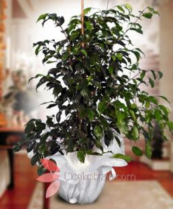 https://www.cicekcibiziz.com//img/product/m/benjamin-bitkisi-100cm-8L.jpg
