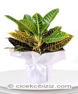 https://www.cicekcibiziz.com//img/product/m/kraton-bitkisi-E5.jpg