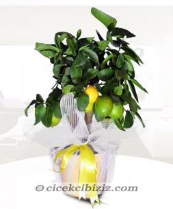 https://www.cicekcibiziz.com//img/product/m/limon-agaci-5F.jpg