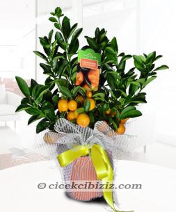 https://www.cicekcibiziz.com//img/product/m/mandalina-7U.jpg