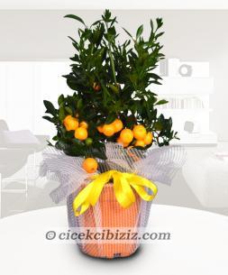 https://www.cicekcibiziz.com//img/product/m/mandalina-8N.jpg