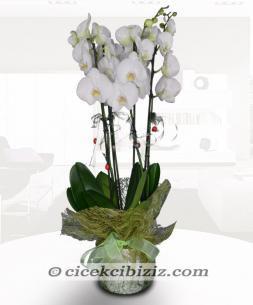 https://www.cicekcibiziz.com//img/product/m/orkide-5Z.jpg