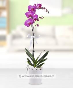 https://www.cicekcibiziz.com//img/product/m/phalaenopsis-tek-dalli-mor-orkide-cicegi-12.jpg