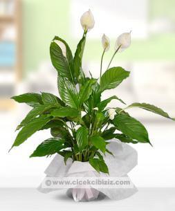 https://www.cicekcibiziz.com//img/product/m/spathiphyllum-baris-cicegi-45cm-SA.jpg