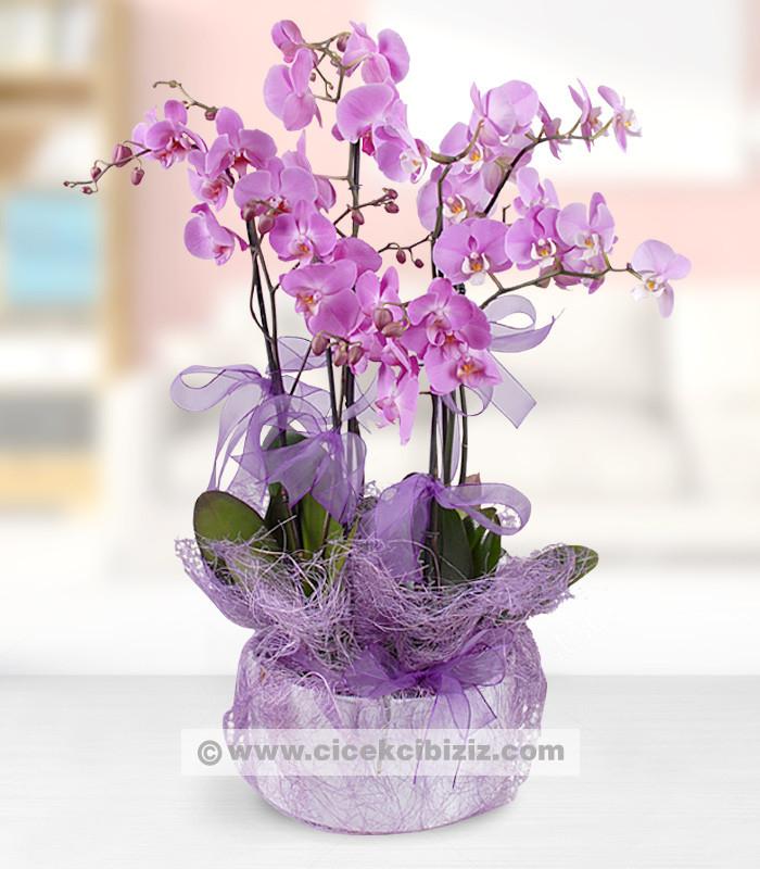 5 Dal Mor Orkide Çiçeği
