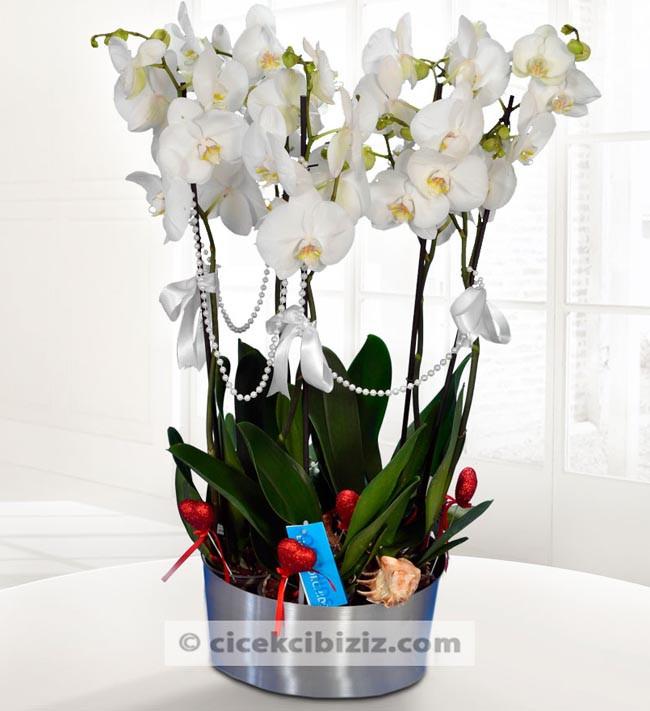 Phalaenopsis 5 Dal Orkide Çiçeği