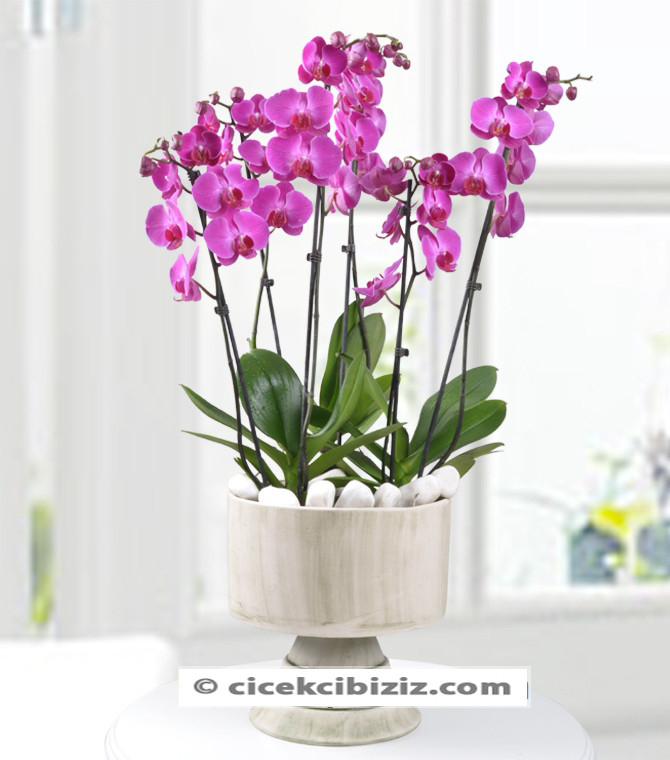 Vip Vazo 6 Dal Mor Orkide Çiçeği